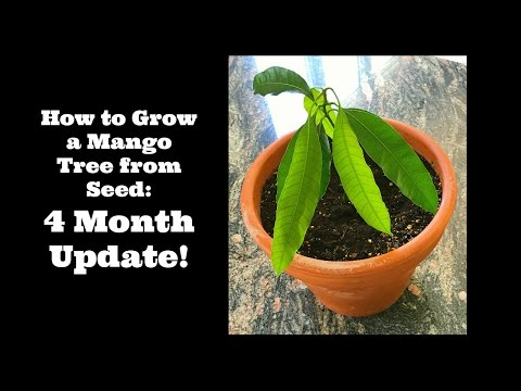 How to Grow a Mango Tree from Seed:  4 Month Update!