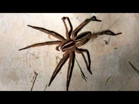 Giant Porch Spiders