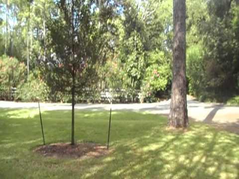 Arborist Gene Basler examines live oak 1 year after planting