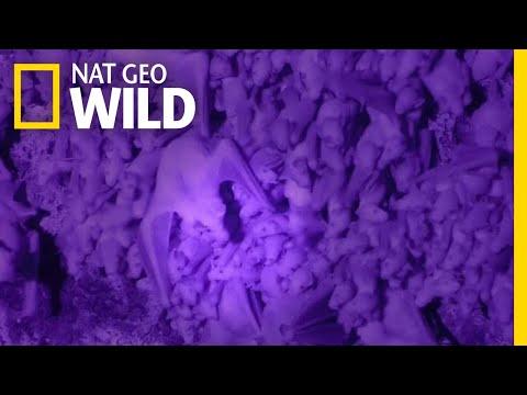 How Bat Moms Find Their Babies in Crowded, Dark Caves | Nat Geo Wild