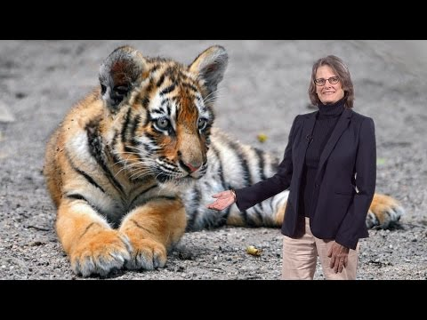 Elizabeth Hadly (Stanford) 2: Loss of Biodiversity - The Tiger: A species on the brink