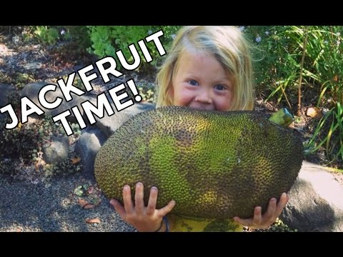 Jackfruit Time! Picking A Ripe One, Opening, & Eating