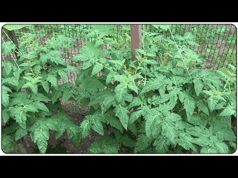 Tomato Update: Early Girl Bush and Better Bush, July 14th 2014