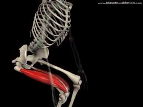 How to do a Squat Properly: Watch the Muscles in 3D