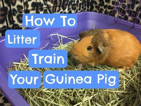 Litter Training Your Guinea Pig