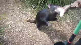 Zoo Tales - Love our little (Tasmanian) devils