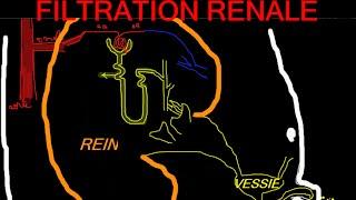 🔴 Filtration Renale ExpliquÉe Clairement ! (super Intro A La Physio Renale)