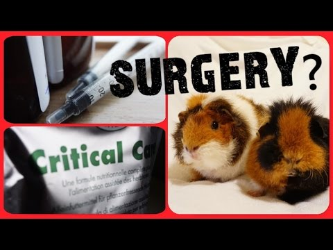 Guinea Pig Surgery: Five Key Need-to-Knows!   Squeak Dreams
