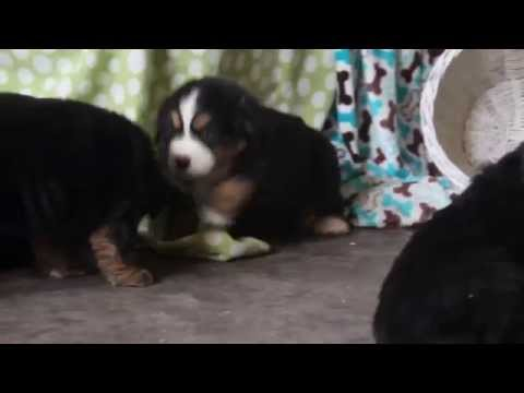 Bernese Mt Dog Puppies For Sale
