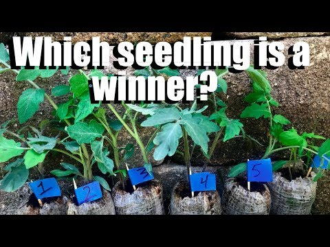 Help me Choose a Winning Tomato Seedling // Growing Large Tomatoes: Beefsteak Tomato Challenge #3