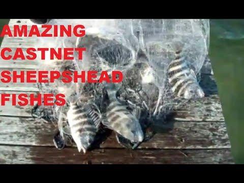 Amazing cast net fishing caught huge school of Sheephead fish