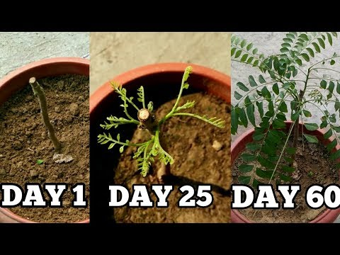 Right way to grow curry leaf plant from cuttings in November/December (with updates)
