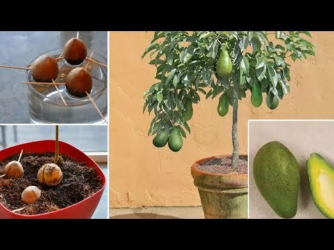 🔹🔹Stop Buying Avocados Here's How You Can Grow an Avocado Tree in a Small Pot at Home🔹🔹