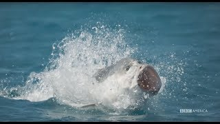Planet Earth: Blue Planet II | Giant Trevally | Coming to BBC America 2018
