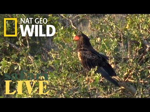 Safari Live - Day 161 | Nat Geo Wild