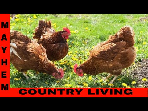 Planning for chickens on your homestead