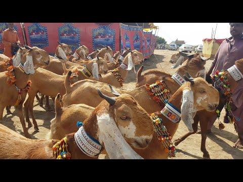 Download Goat Show part1 (sachal sain) |Documentary