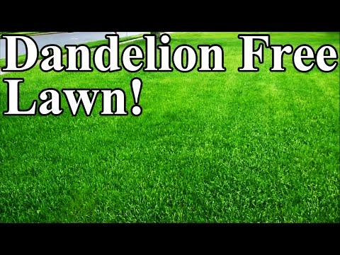 How to properly remove a dandelion from your lawn
