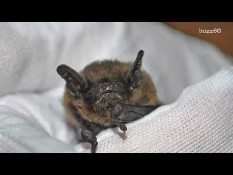 Rescued Baby Bat is the Size of a Paper Clip