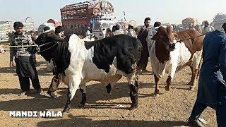 401 | MULTAN COW MANDI 2019 / 2020 PAKISTAN | HEAVY SAHIWAL