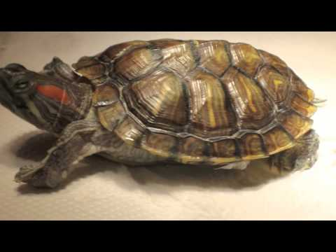 Principles of Treatment and Diagnosis: Swollen Eyes in Terrapins