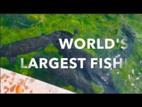 WORLD's LARGEST FRESHWATER FISH!