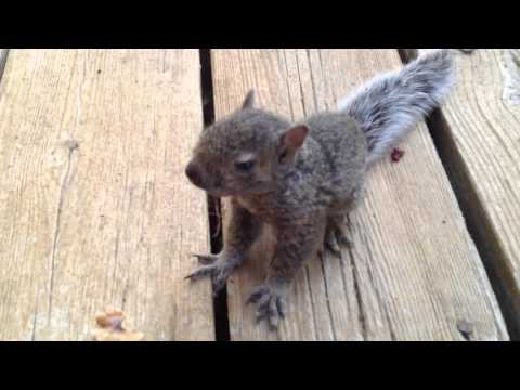 Lost and Hungry Baby Squirrel