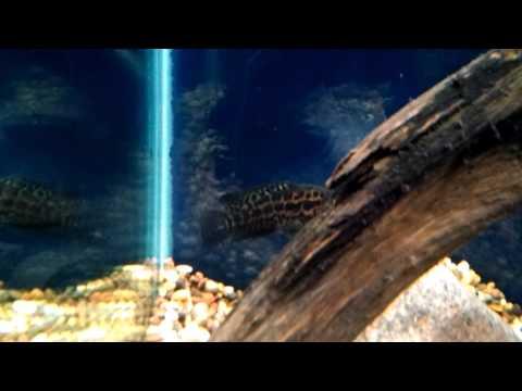 Jaguar cichlid 5 inches