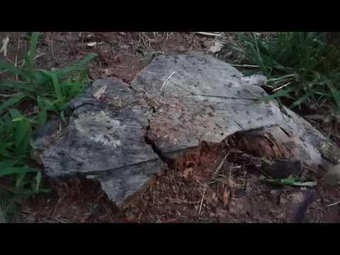 Ants in tree stump