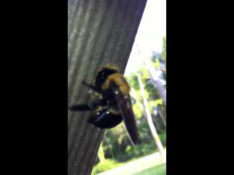 Carpenter Bee drilling wood UP CLose