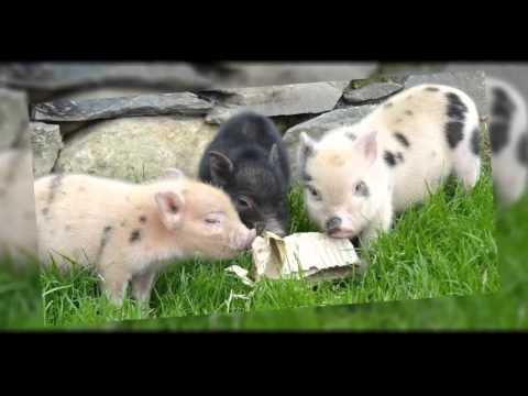 Micro Pigs, Teacup Pigs & Other Pet Pigs - All You Ever Wanted To Know