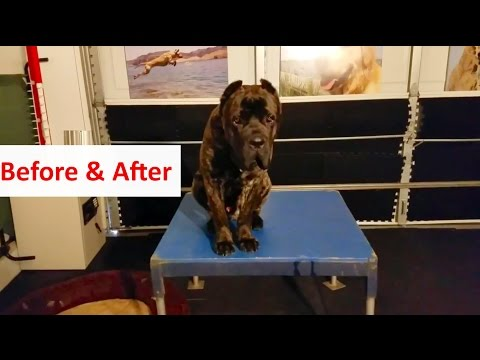 Columbus Ohio Dog Training: BEFORE & AFTER with Roofus the Cane Corso: Dog Training with Terry Cook