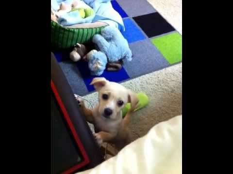 Puppy crying and wants to get on the bed