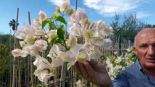 Bouganville: consigli per avere delle belle piante con generose fioriture