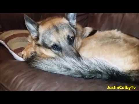 What Happens When You Leave a German Shepherd Home Alone!