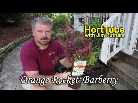 Upright Beautiful Foliage 'Orange Rocket' Barberry
