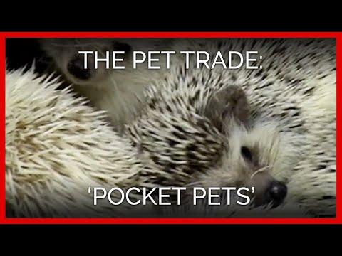 The Pet Trade: 'Pocket Pets'