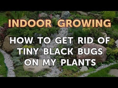 How to Get Rid of Tiny Black Bugs on My Plants