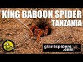 Finding the KING BABOON SPIDER in Tanzania