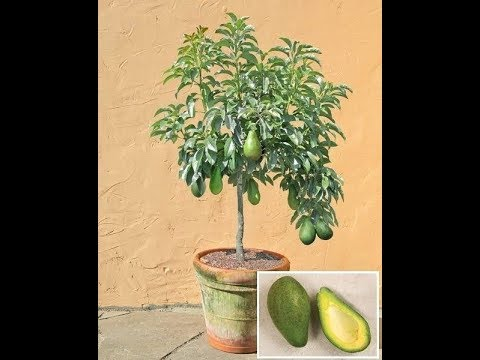 HOW TO GROW A AVOCADO TREE IN A CONTAINER - BY HAPPY TWiRL