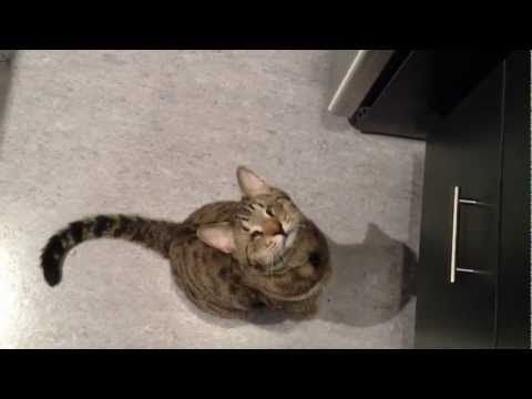 Oskar the Blind Cat Begging and Talking