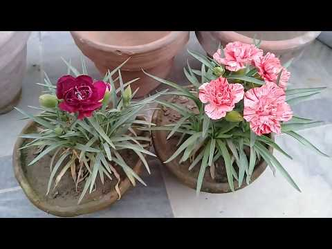 Repotting Carnations | How to grow and care carnation flowering plant.
