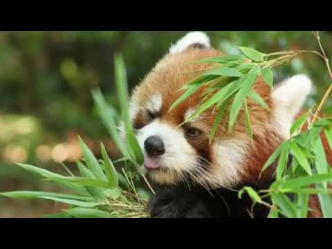 Sophia's Report on Red Pandas