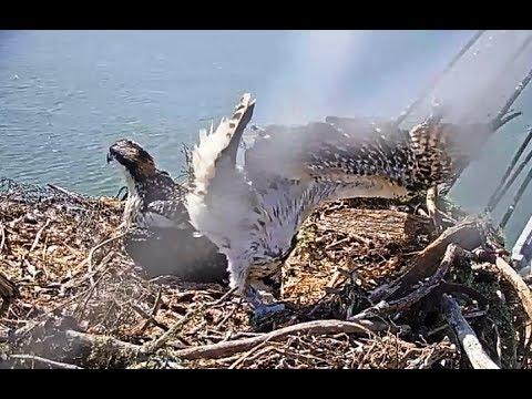 My beautiful osprey wings  June 21, 2017