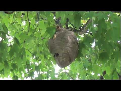 Wasp Nest in Tree