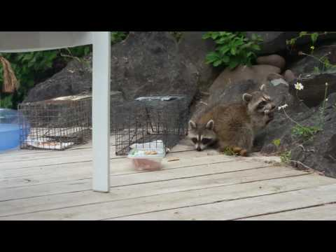 Trapping orphaned baby raccoons for transport to wildlife rehabilitator