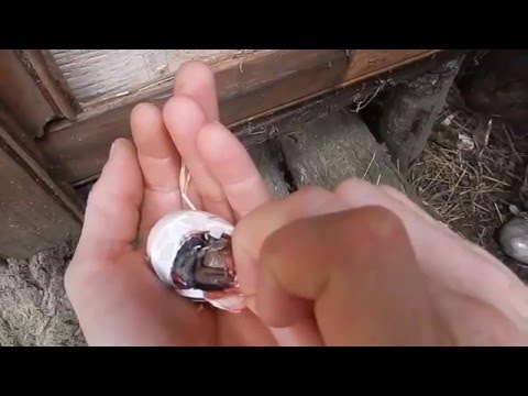 Helping a chick hatch out of the egg/saving a chick
