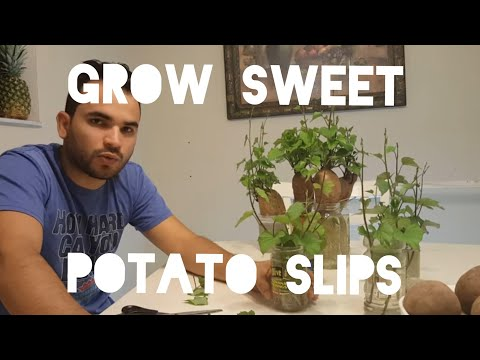 HOW TO GROW & CUT SWEET POTATO SLIPS (SPROUTS, VINES,SHOOTS), COMO SEMBRAR BONIATO BATATA Part 4