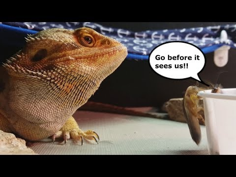 Bearded Dragon Eating // The Death of Roachie & Twitch.