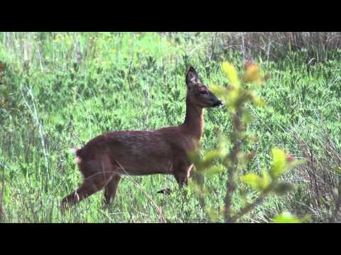 Roe Deer Barking